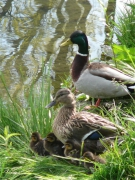 photo : Famille Canard